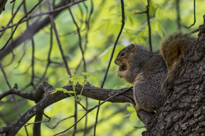 Écureuil photos stock