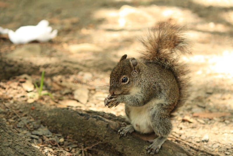 Écureuil affamé photographie stock