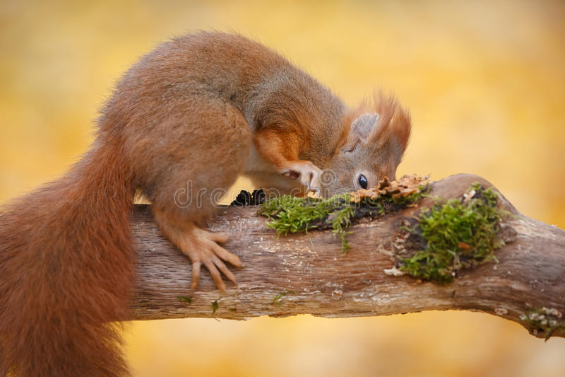 Écureuil affamé photo stock