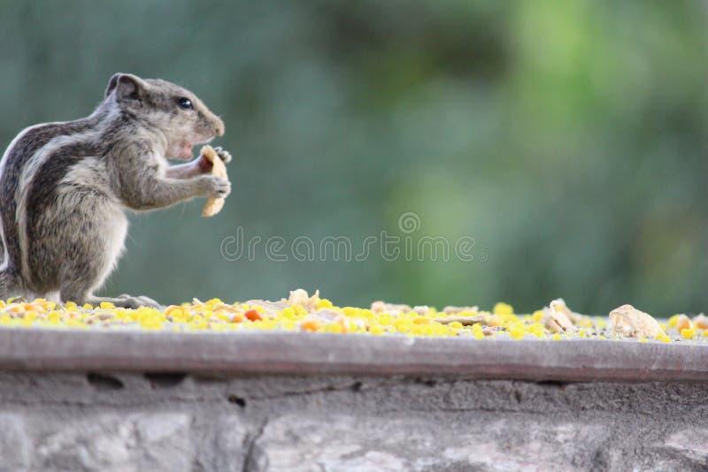 Écureuil affamé image libre de droits