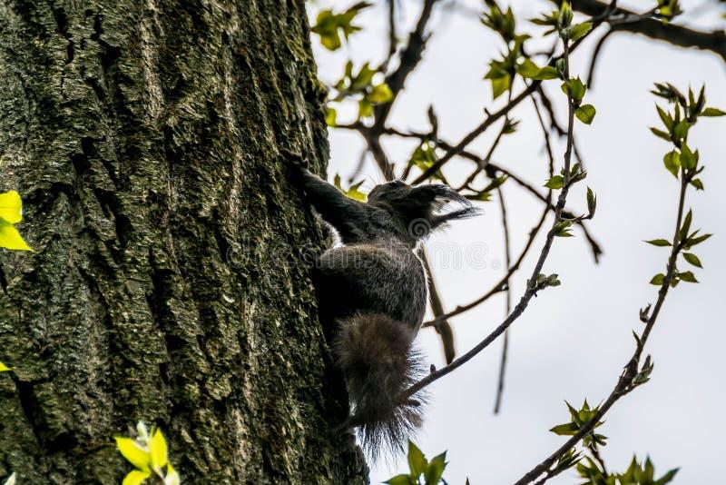 Écureuil agile sur une écorce d'arbre image stock