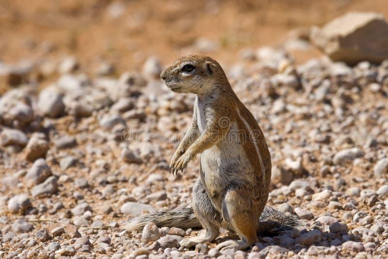 Écureuil alerte image stock