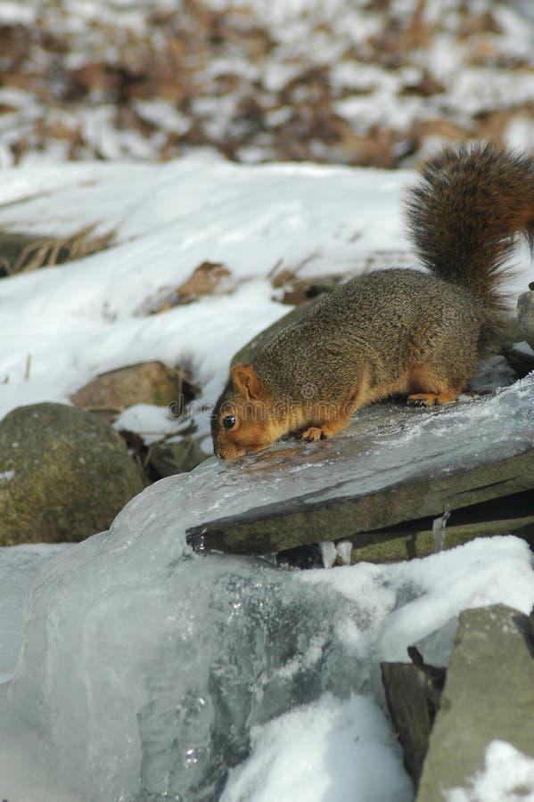 Écureuil altéré photos libres de droits