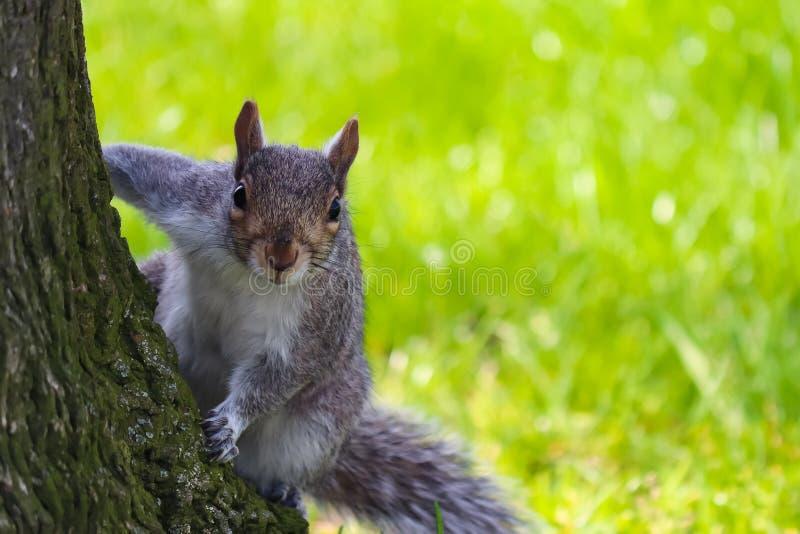Écureuil anglais de Brown menaçant derrière la dissimulation d'arbre photographie stock libre de droits
