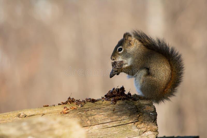 Écureuil au matin image stock