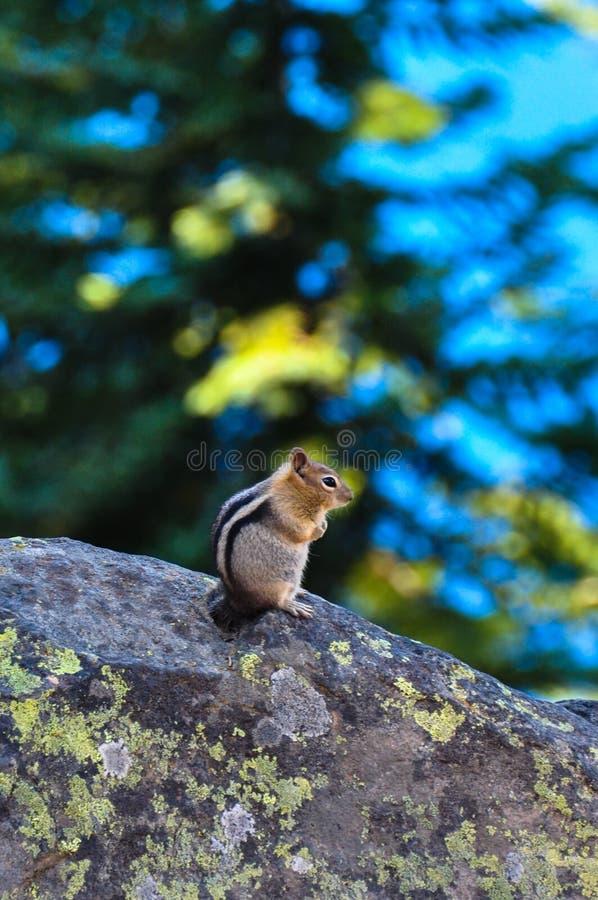 Écureuil au parc national de lac crater, Orégon, Etats-Unis photographie stock