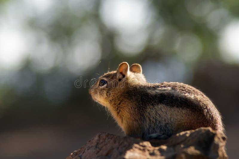 Écureuil au RIM du nord de gorge grande image stock