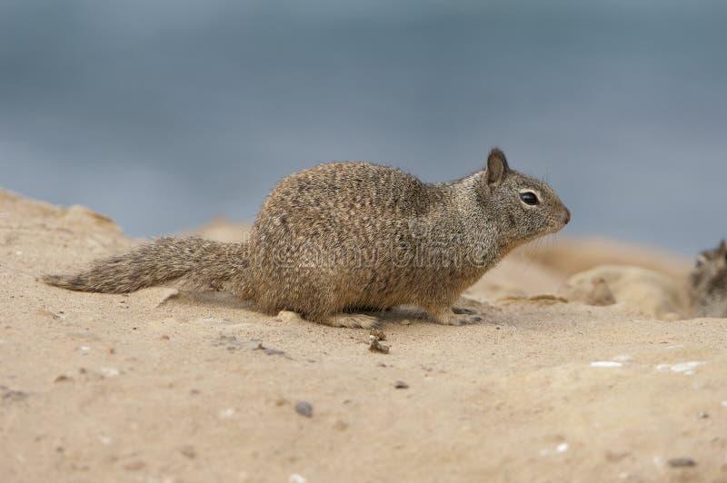 Écureuil au sol de la Californie photo stock