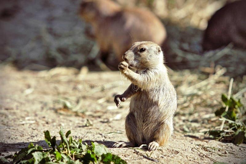 Écureuil au sol européen photographie stock