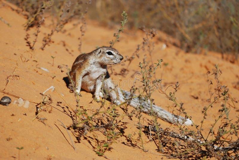 Écureuil au sol (inauris de Xerus) photographie stock