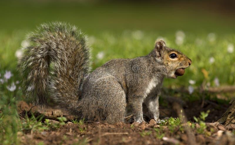 Écureuil avec l'écrou dans la bouche photographie stock