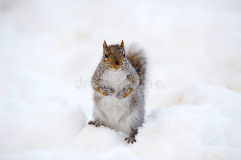 Écureuil avec la neige en hiver photos stock