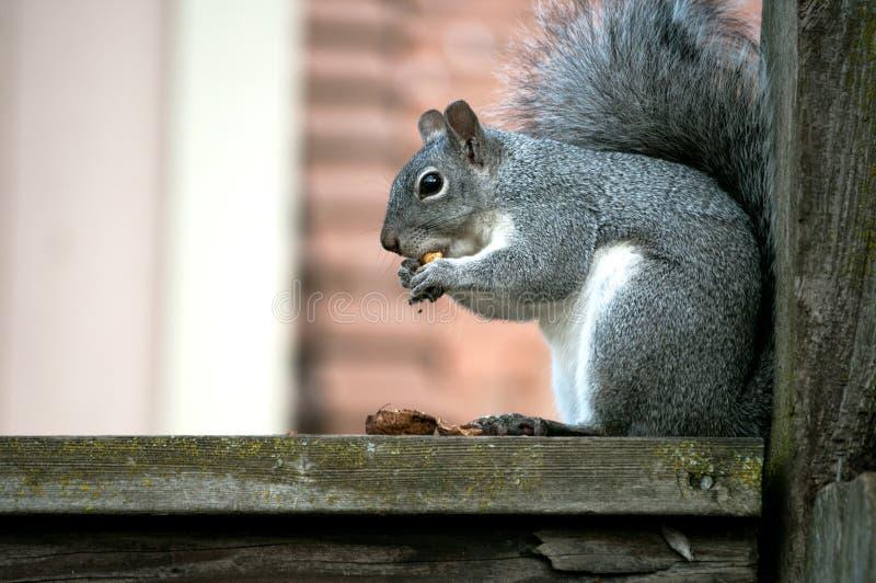 Écureuil avec la noix photographie stock libre de droits