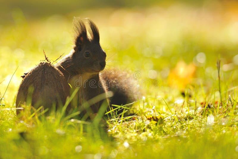 Écureuil avec la noix de coco photographie stock
