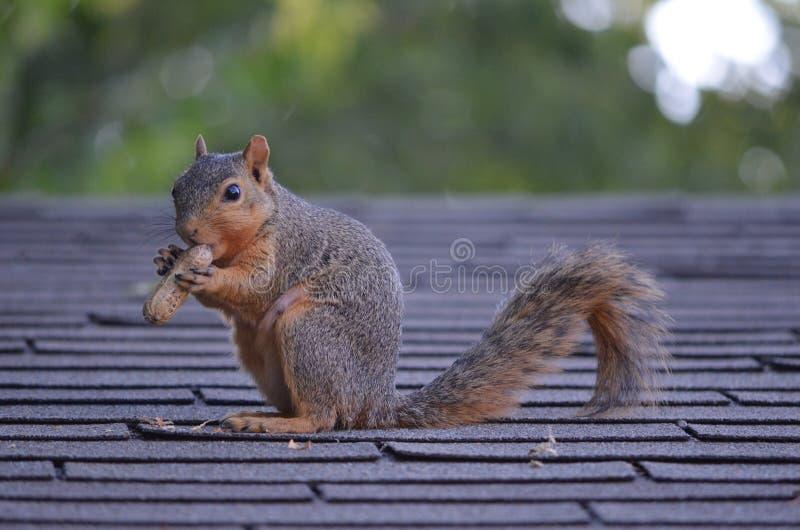 Écureuil avec un écrou photographie stock libre de droits