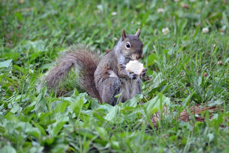 Écureuil avec un casse-croûte photos libres de droits