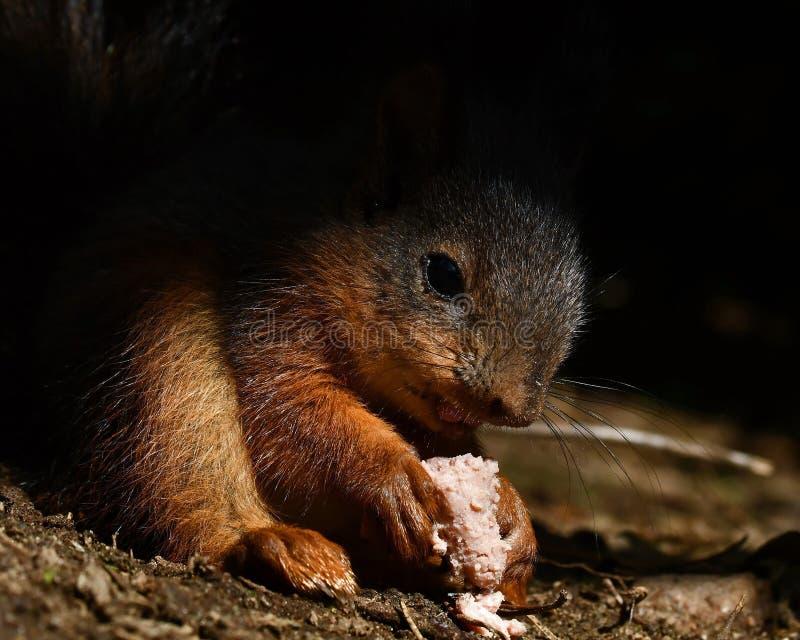 Écureuil, bébé vulgaris de Sciurus s'asseyant et mangeant photographie stock libre de droits