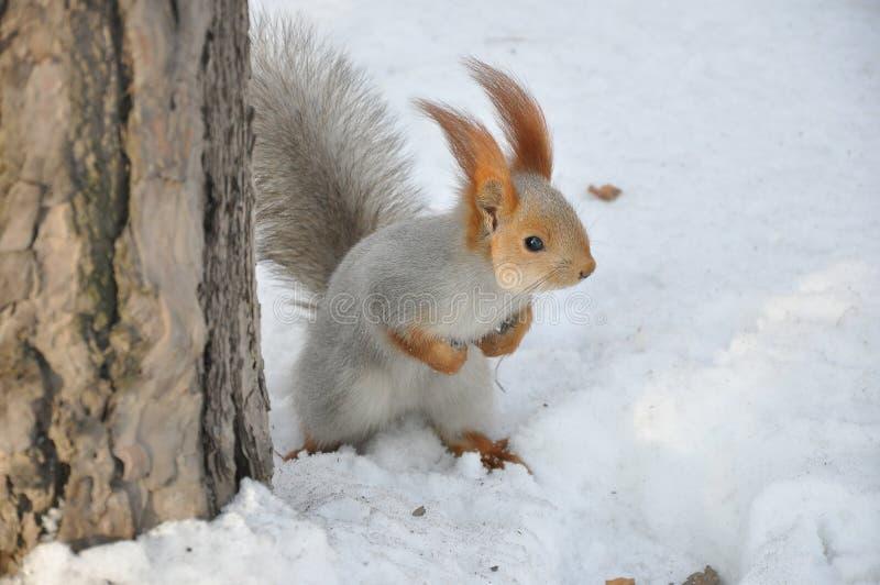 Écureuil courageux image libre de droits