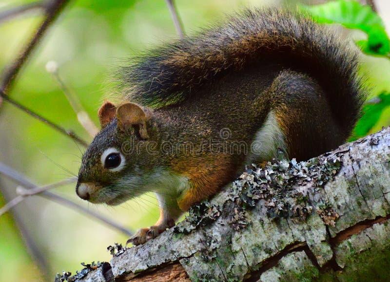 Écureuil d'arbre image libre de droits