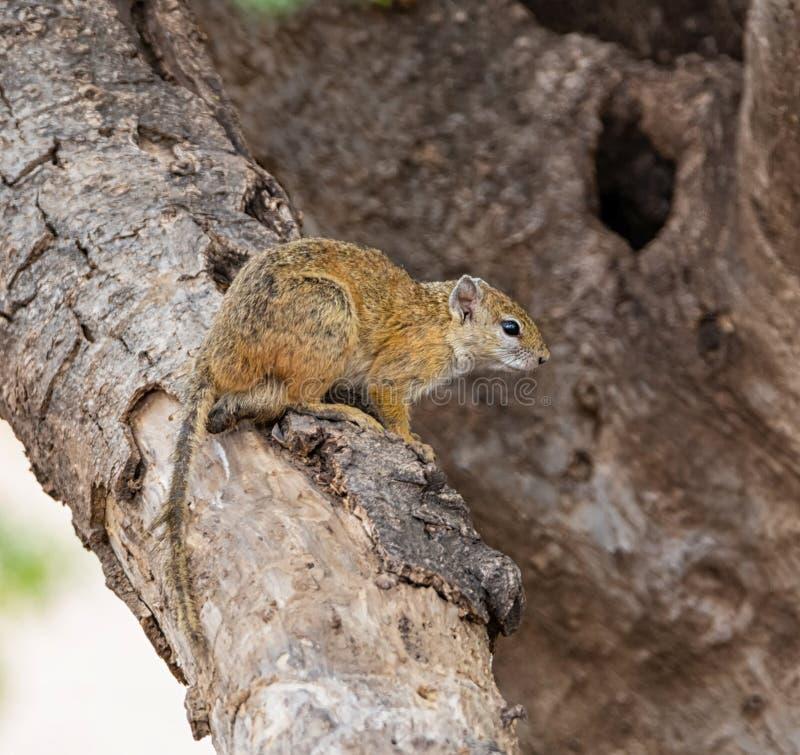 Écureuil d'arbre africain photos stock