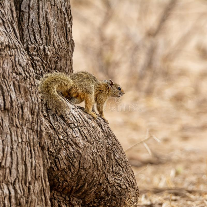 Écureuil d'arbre africain images stock