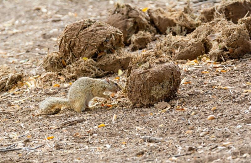 Écureuil d'arbre africain photographie stock
