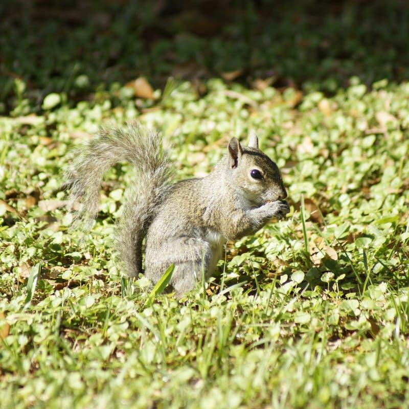 Écureuil d'arrière-cour photographie stock
