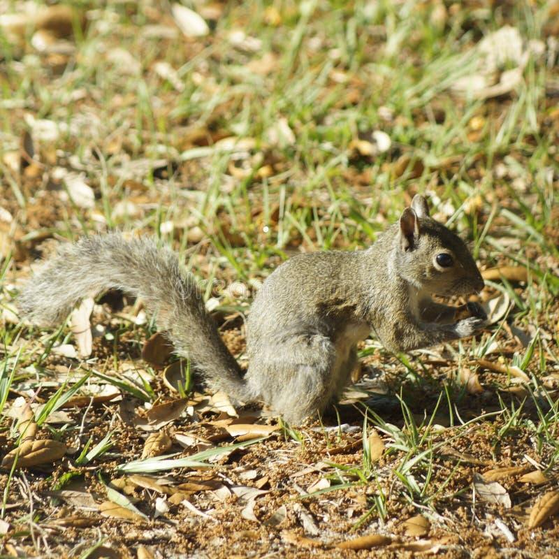 Écureuil d'arrière-cour image libre de droits