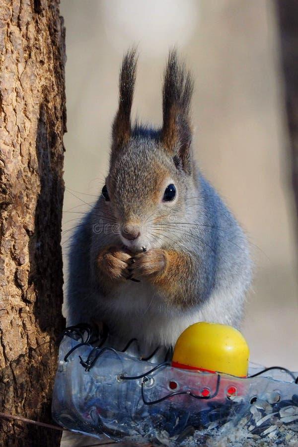 Écureuil d'hiver longues oreilles images libres de droits