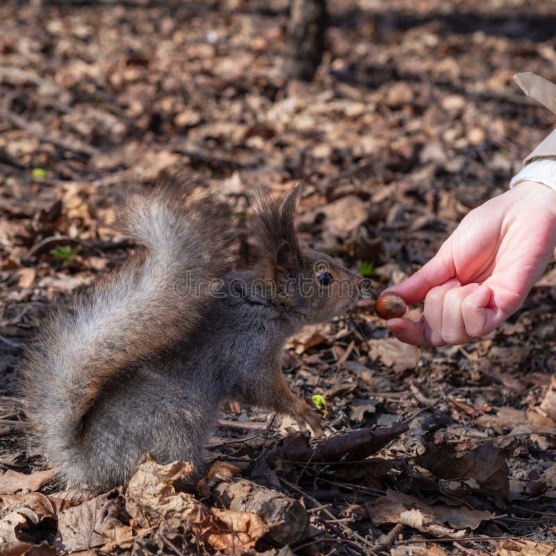 Écureuil dans photographie stock