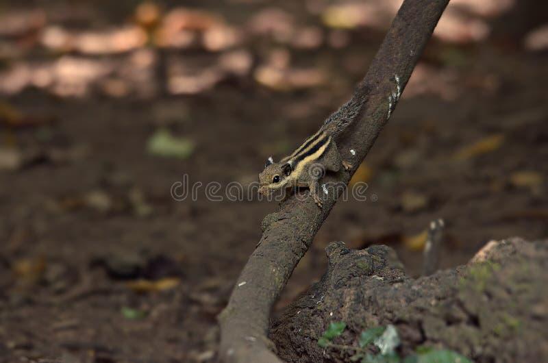 Écureuil dans la forêt image libre de droits