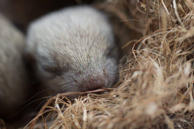 Écureuil dans le nid photos libres de droits