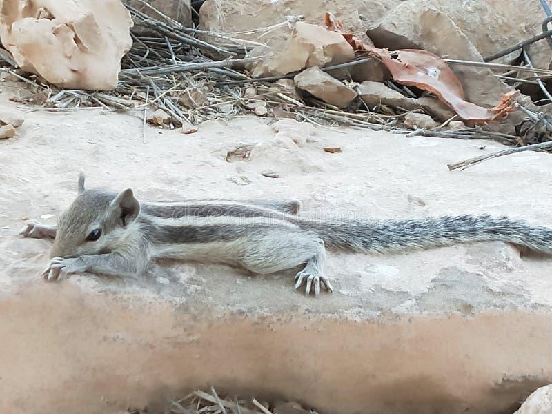 Écureuil dans le temps de repos photo stock