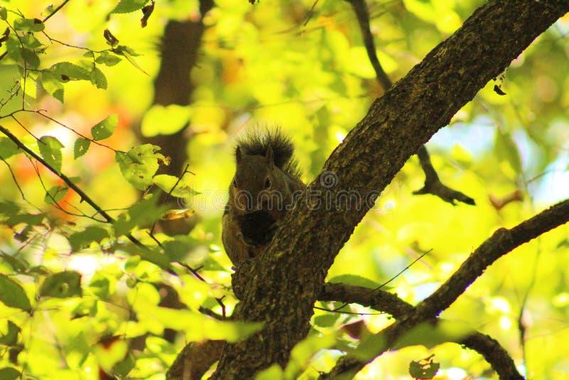 Écureuil dans un arbre photo libre de droits