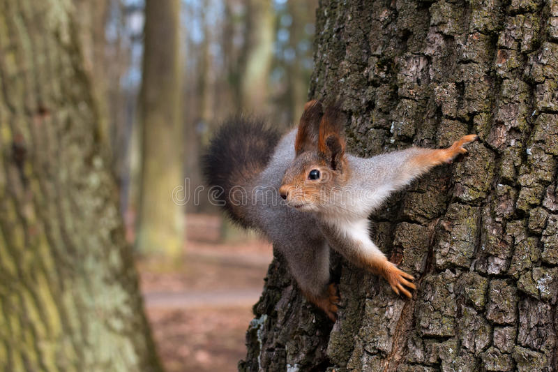 Écureuil dans un arbre regardant curieusement Plan rapproché photo libre de droits