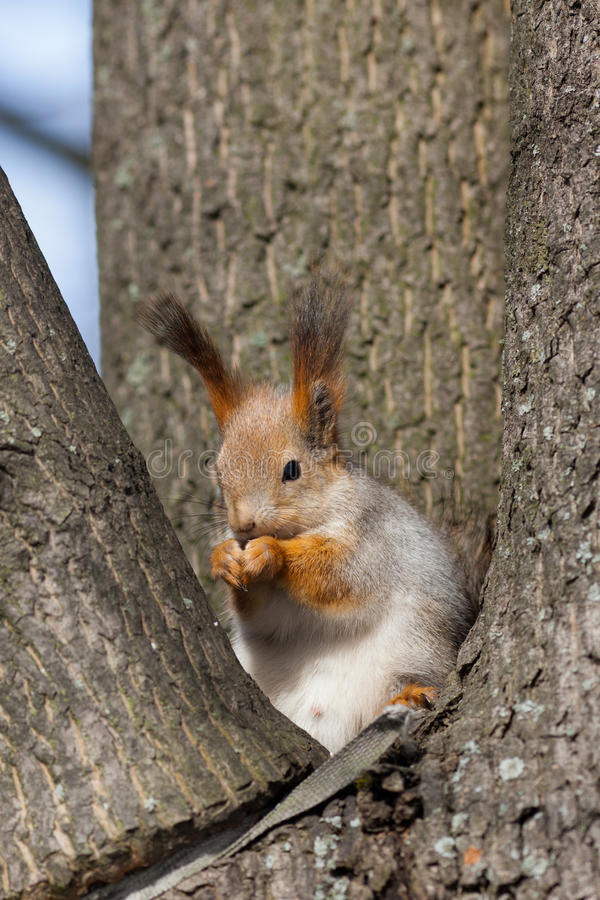 Écureuil dans un emboîtement photos stock
