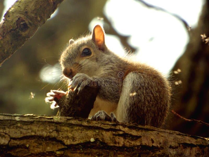 Écureuil de bébé photographie stock