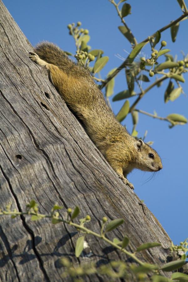 Écureuil de Bush de Smith photo stock