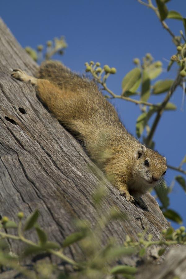 Écureuil de Bush de Smith photo libre de droits