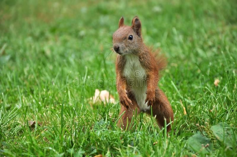 Écureuil de chasse photos stock