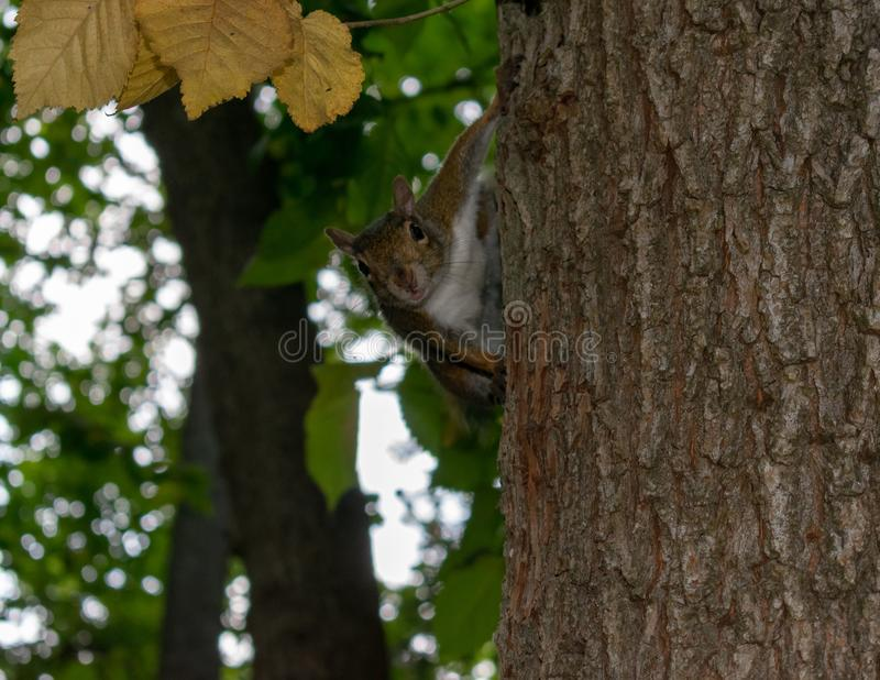 Écureuil de dissimulation jetant un coup d'oeil d'un arbre photo libre de droits