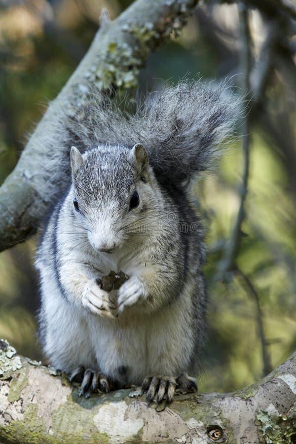 Écureuil de Fox de péninsule de Delmarva image stock