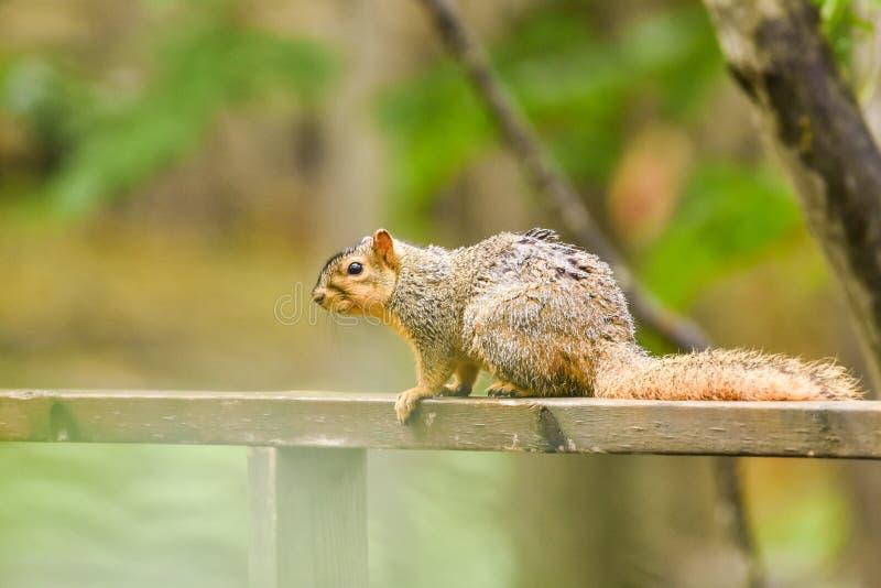Écureuil de Fox sur la barrière en bois photo libre de droits