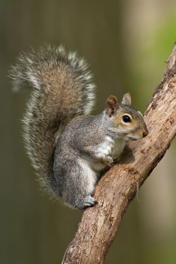 Écureuil de gris oriental images libres de droits