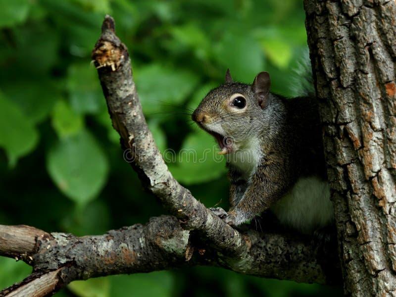 Écureuil de gris oriental de baîllement photos libres de droits