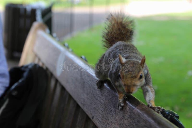 Écureuil de gris oriental Londres photographie stock libre de droits