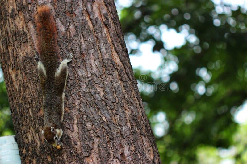 Écureuil de jardin images libres de droits