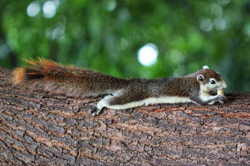 Écureuil de jardin images stock