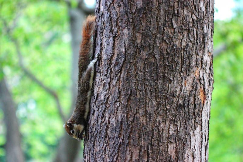 Écureuil de jardin image stock