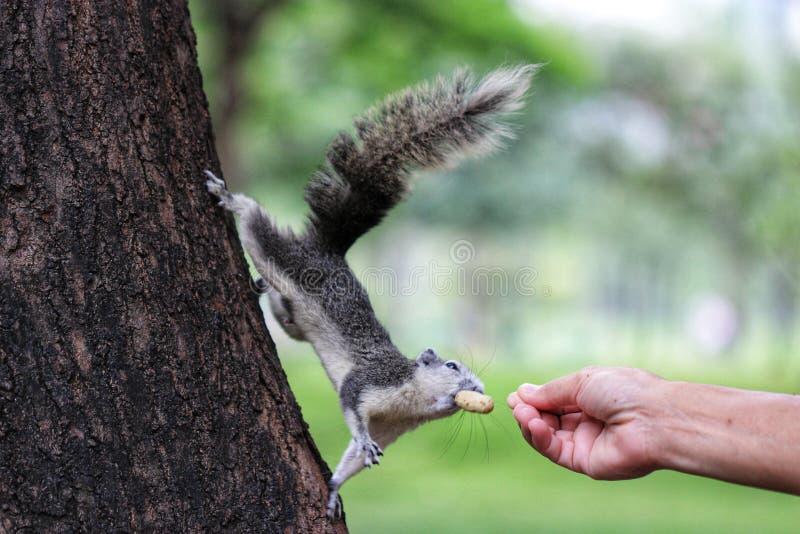 Écureuil de jardin photo libre de droits